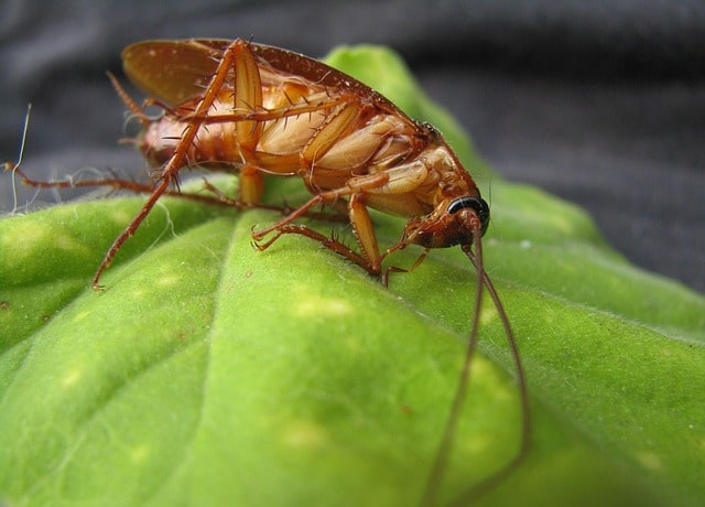 cockroaches carry disease