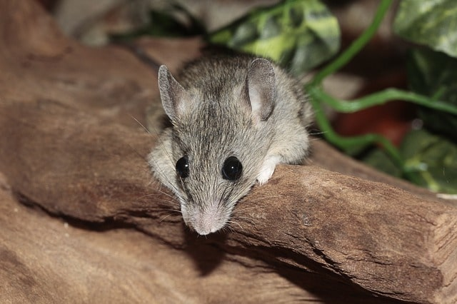 house mouse facts