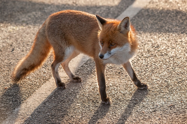 an urban london fox