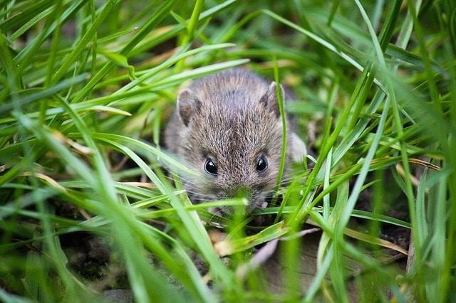uk garden rodents