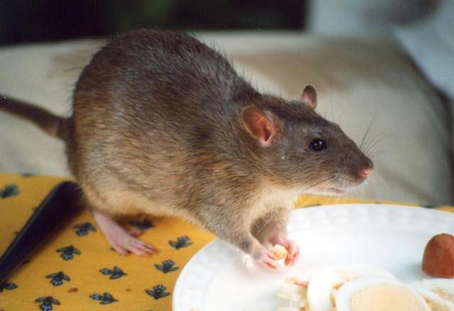 a super rat