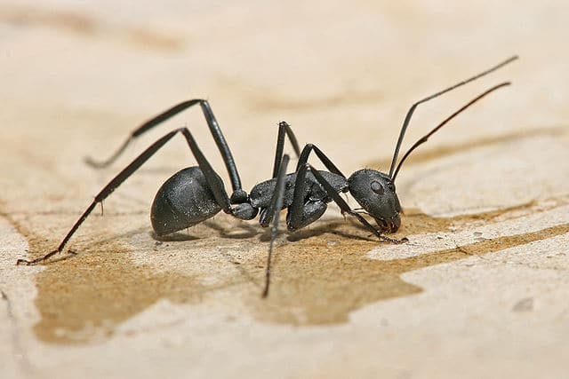 image of carpenter ants uk