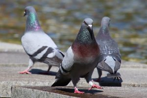 pigeons in london