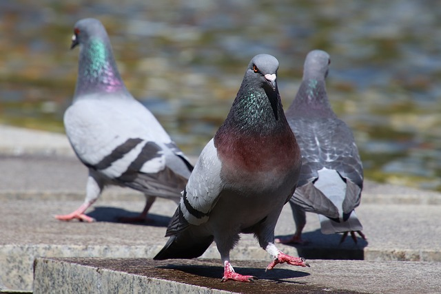 pigeons in london