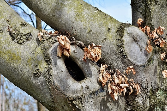 squirrel nest in tree hole