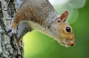 where do squirrels nest