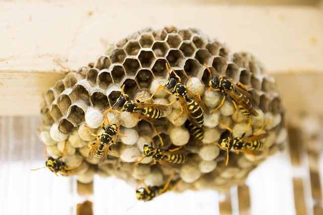 wasp nest facts and figures