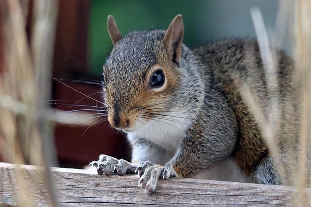 are squirrels pests and why