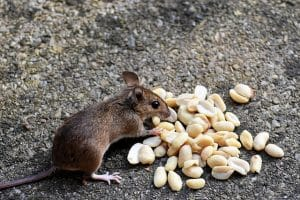 mouse exterminator in london