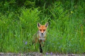 a fox deterred from garden
