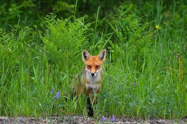 a fox deterred from garden