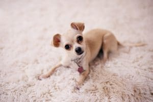 can fleas live in carpet and rugs