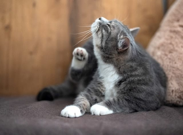 cat with fleas scratching