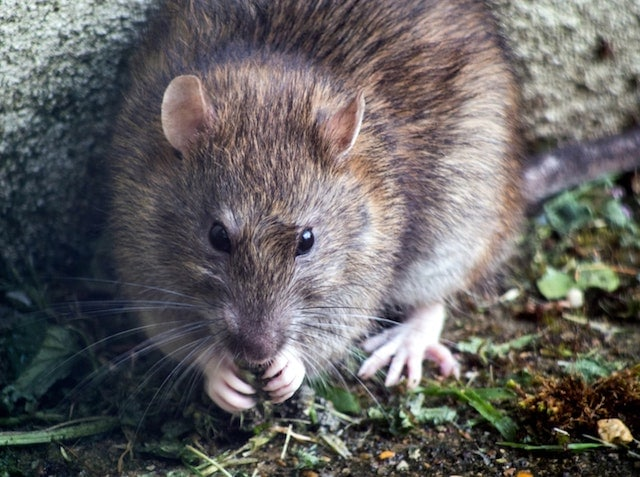 london rat problem worsens