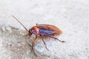 cockroach allergy image