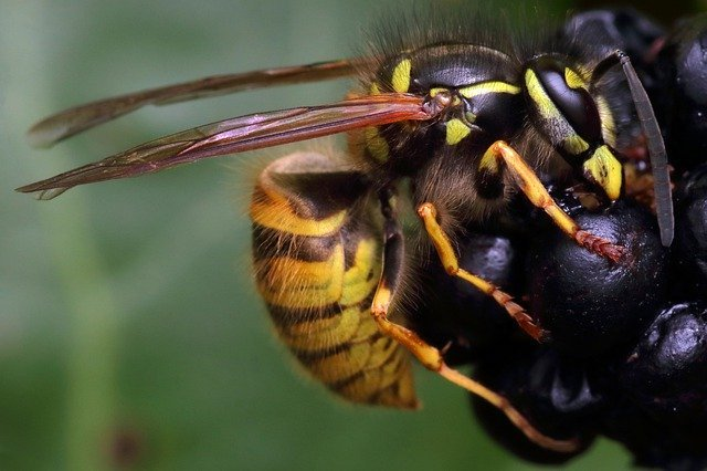 do wasps hibernate in houses