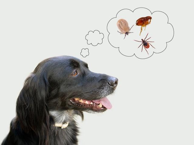 Dog considering fleas