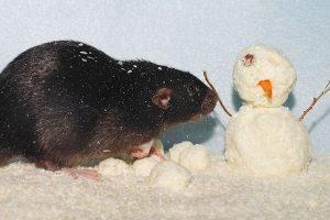rats need winter pest control
