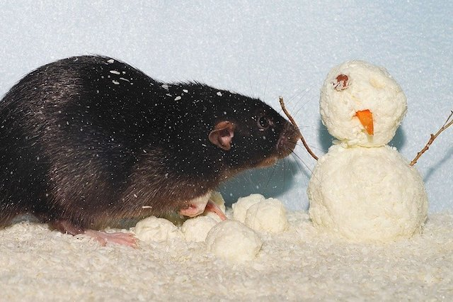 rats need winter pest control