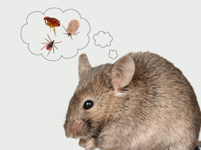 mice with fleas and ticks