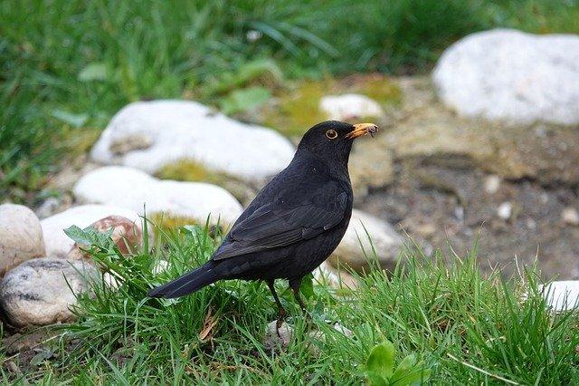 blackbird on the grass