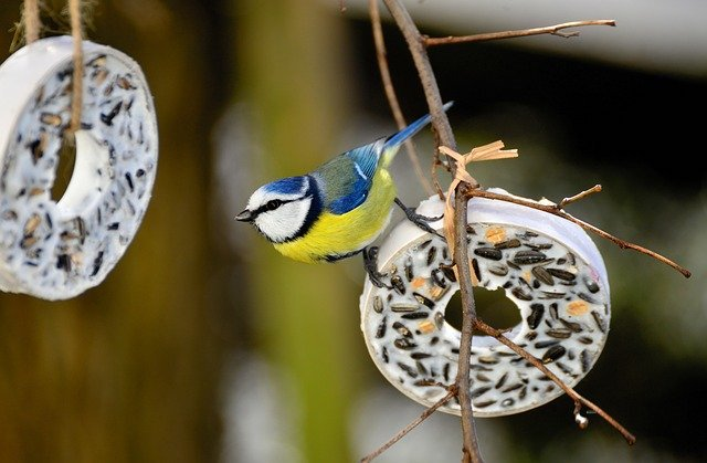 blue tit in london garden