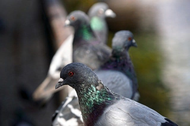 pigeon problems in london