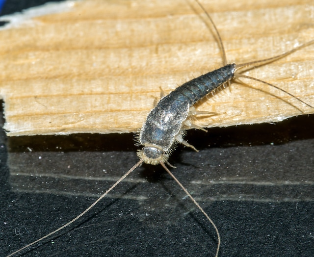 ong tailed silverfish pest