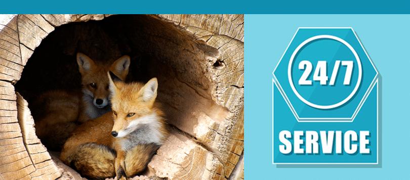 fox control needed in london