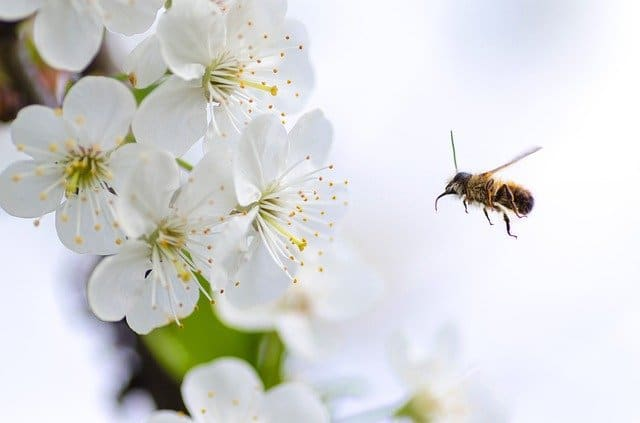 insect on a spring blossom tree