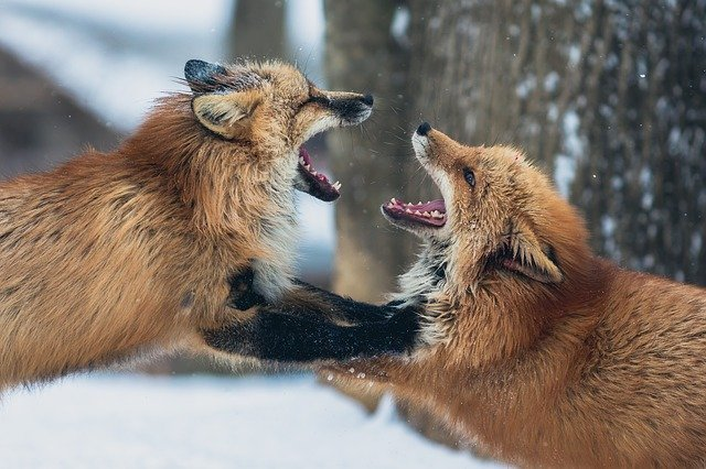 urban london foxes fighting