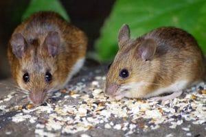 london house mice eating best food