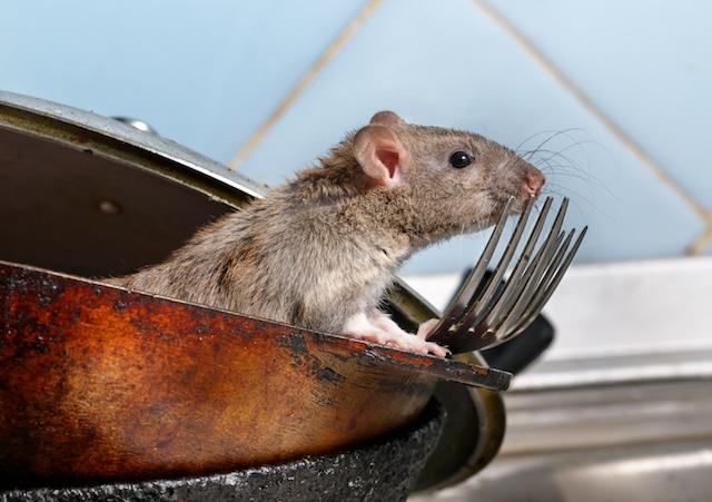 rat infestation emergency
