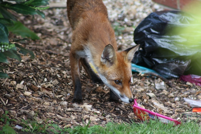 fox sniffing rubbish in london