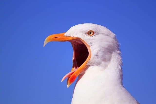menacing looking sea gull