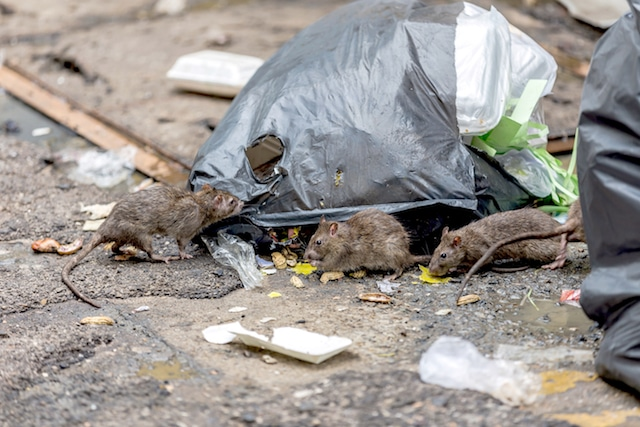 mice on london streets