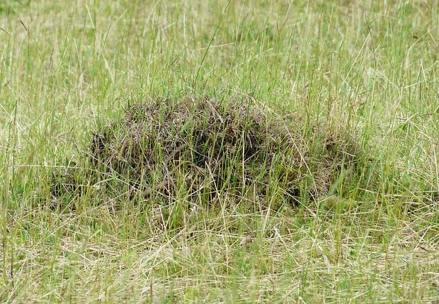 ant hill on lawn