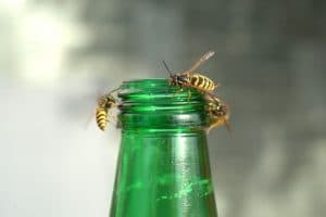 bees compared to wasps