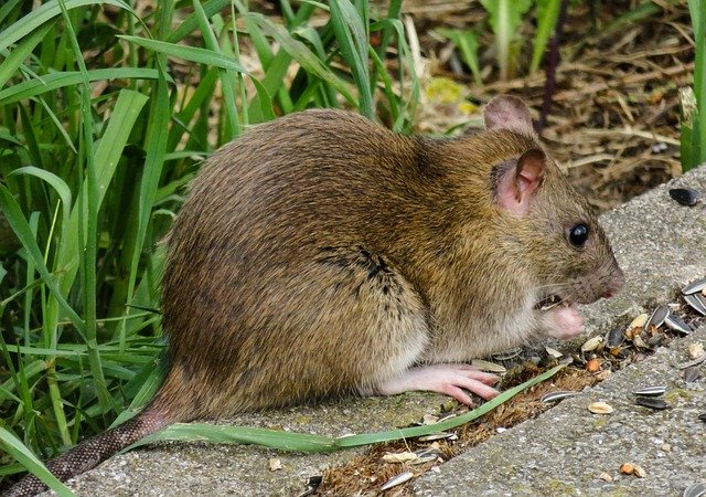 rat in a london garden setting