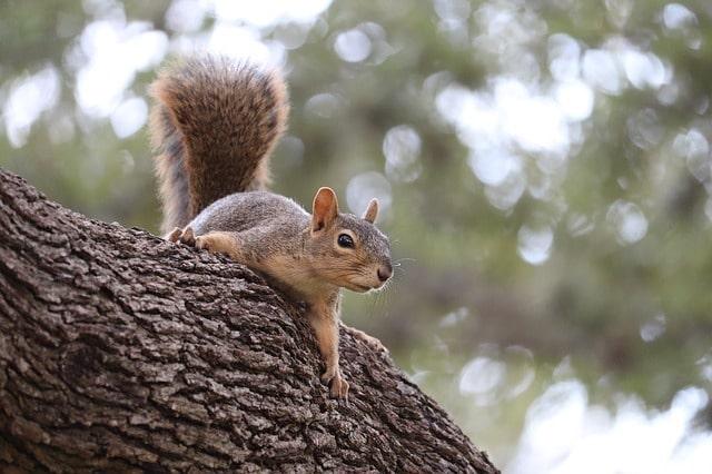 squirrel roof pests