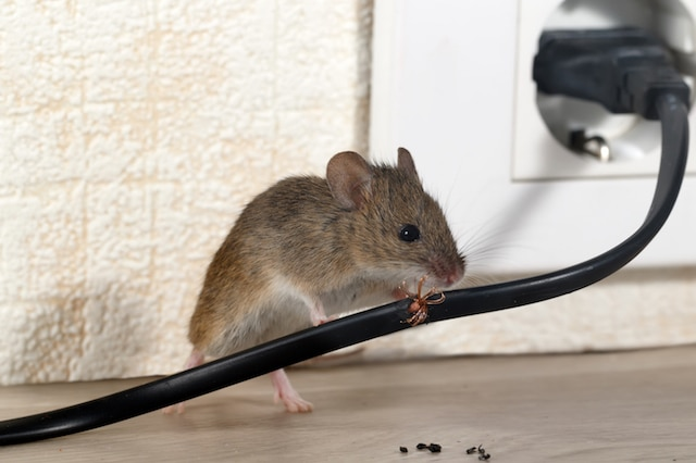 Closeup mouse gnaws wire in an apartment house