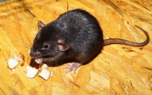 black roof rat in london