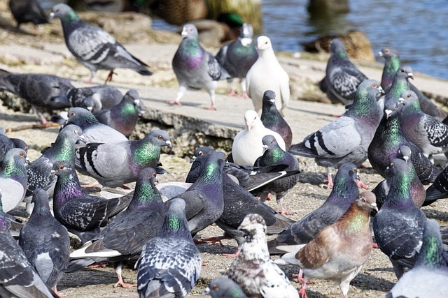pigeon control in london