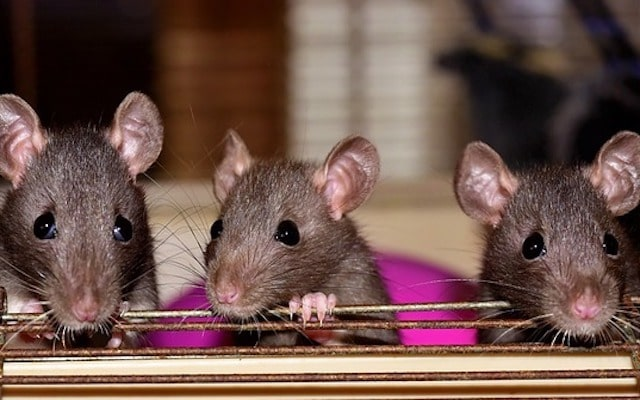 rat numbers rising