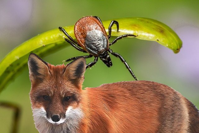 tick on fox