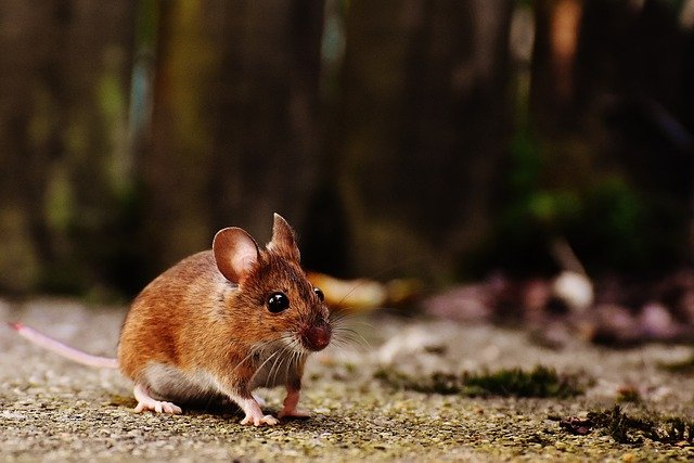 nocturnal pests like mice