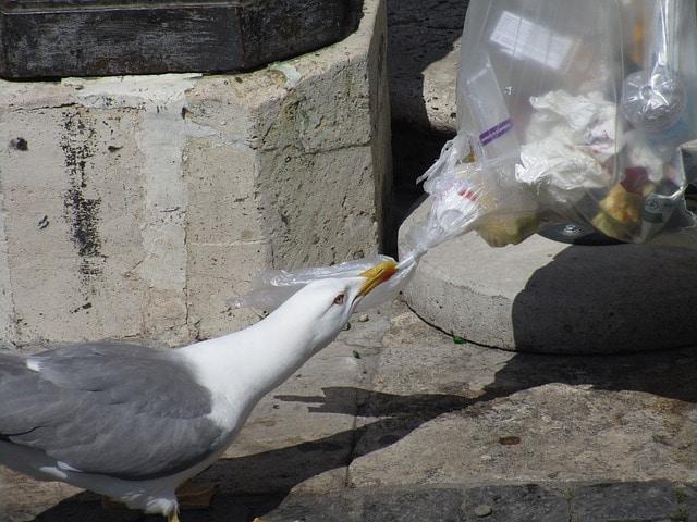 seagull picking rubbish
