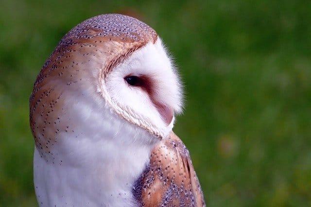 owl in a london garden