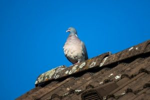 can birds damage a roof in london
