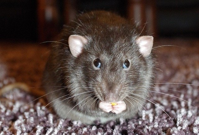 rat in a london house